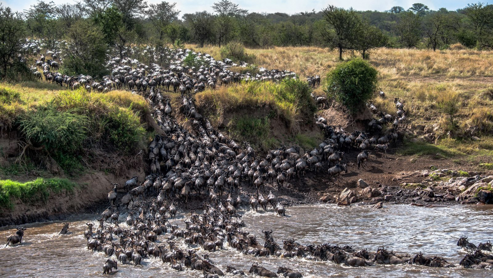 Animal numbers fall as fences block migration corridors